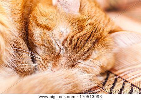 Red Cat Asleep