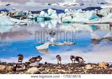 Flock of geese grazing on the lagoon. Sunrise illuminates the glacier Vatnajokull and water of Ice Lagoon Jokulsarlon. The concept of extreme northern tourism