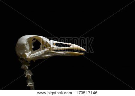Ancient Stork Skull