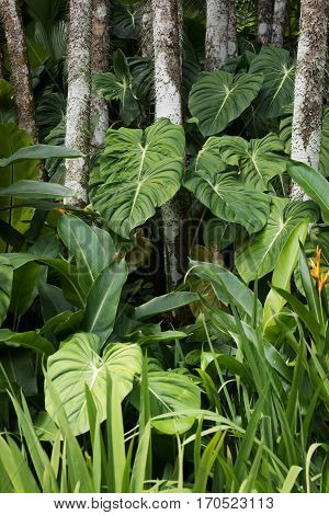 Elephant Ear plant growing in the tropical forest at Singapore Botanical Garden