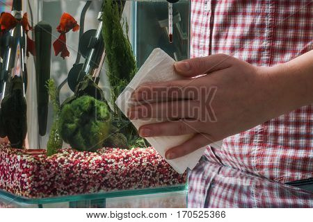 Woman cleaning aquarium with beta fish at home.