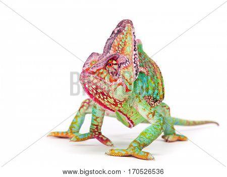 Veiled chameleon (chamaeleo calyptratus) smilling, close-up photo.