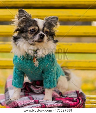 Longhair Chihuahua dog wearing blue pullover sitting on yellow bench with pink checkered plaid. Autumn in park. Horizontal, copy space, close up.
