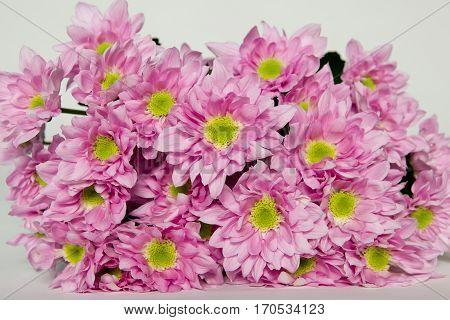 Chrysanthemum Lesia, rose chr bouquet, rózsaszín krizantém csokor, krizi