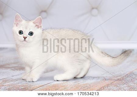Kitten of the British breed standing on the floor. Rare coloring - a silvery chinchilla. Green eyes