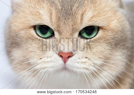 Face Kitten of the British breed. Rare coloring - a golden chinchilla. Green eyes