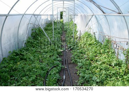 Potatoes In A Greenhouse. Cultivation Of Early Potatoes In The G
