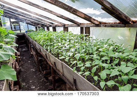Seedlings Of Pepper. Pepper In Greenhouse Cultivation. Seedlings