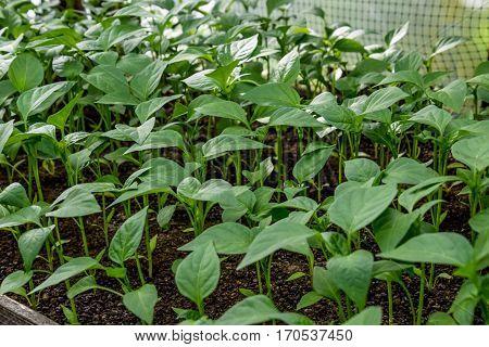 Seedlings Of Pepper. Pepper In Greenhouse Cultivation. Seedlings