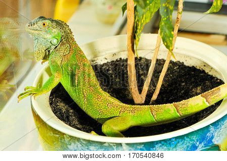 one green iguana lizard .reptile sit on indoor plant