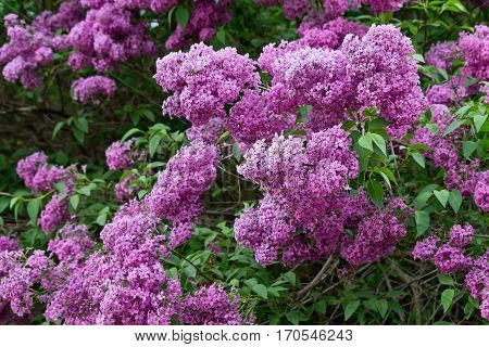 flowering shrub with clusters of pink lilac