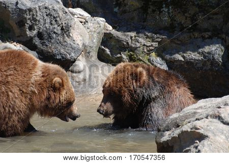 Pair of grizzly bears playing in a river with shallow water.