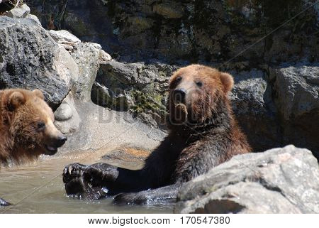 Pair of grizzly bears snacking on the findings of a shallow river.