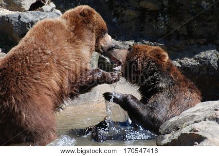 Pair of grizzly bears play fighting in a shallow river of water.