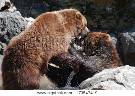brown bear playing fighting with another bear in shallow water.