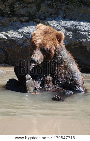 Adorable brown grizzly bear playing in shallow water by himself.