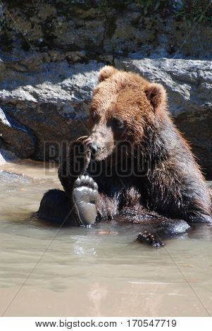 Grizzly bear sitting in a muddy river licking his paw.
