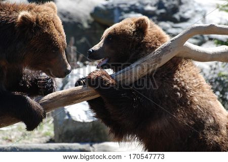 Pair of grizzly bears planning to battle while standing up on a log.
