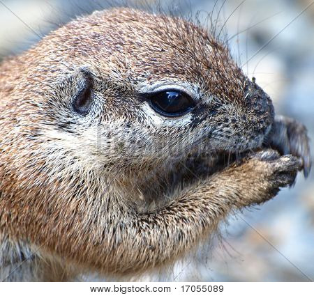 ground squirrel portrait
