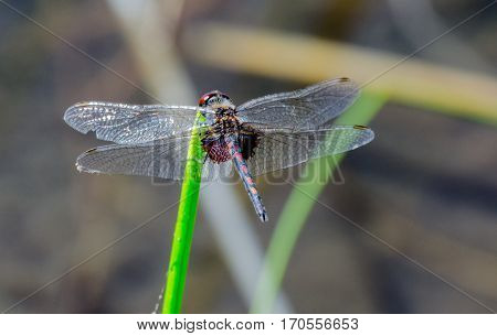 A view of a clear winged dragonfly with red veined areas and orange spots on a blue tail