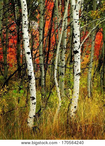 Fall birch trees with maple trees in background autumn