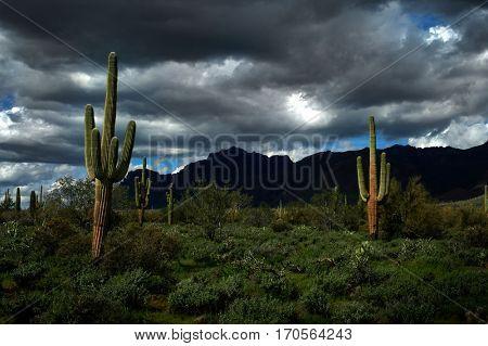Several saguaro cactus cacti in the Arizona Desert