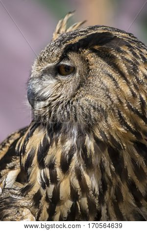 Raptor hunter, Beautiful owl with plumage of earthy colors, has an intense and beautiful look