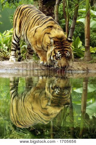 A Sumatran Tiger drinking with head down and butt up. poster