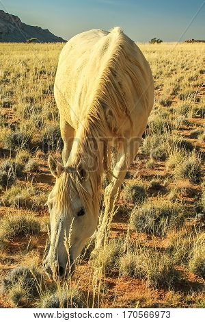 wild horse eating the grass of the savanna during the dry season. Aus, south Namibia.