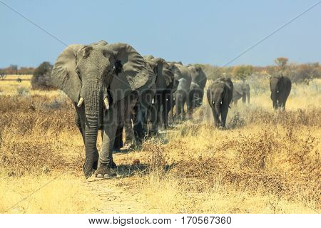 A herd of African elephants charging in Ethosa National Park Namibia on yellow grass savanna ground
