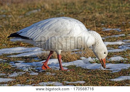 A Snow Goose feeding on grass in a field covered with patchy snow.