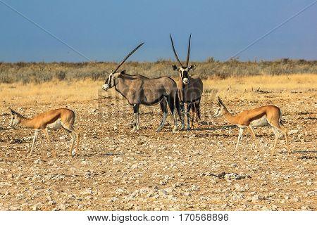 Gemsboks and springboks in Ethosa National Park, dry season, Namibia, Africa.
