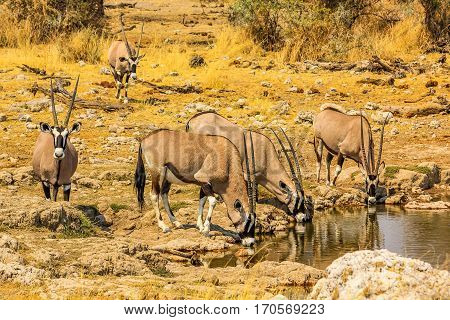 Gemsboks drinking in a puddle, Ethosa National Park, dry season, Namibia South Africa. .