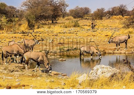 Gemsboks drinking in a puddle, Ethosa National Park, dry season, Namibia, South Africa.