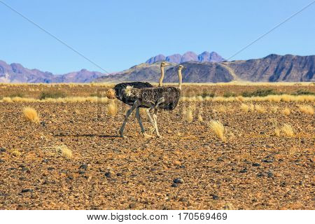 Couple of ostriches in the Namib Desert. Namibia, africa, dry season.