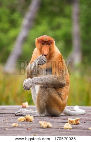 Proboscis Monkey (Nasalis larvatus) endemic  of Borneo.  Female sitting on the feeding platform.