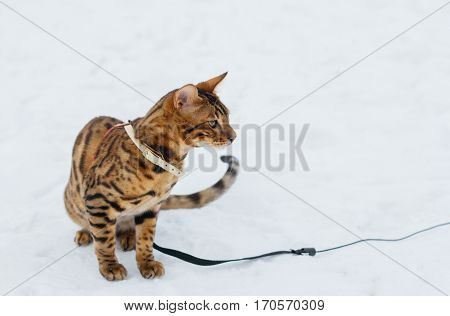 Bengal cat on winter background. Domestic cat in nature. White with brown playing kitten. Cat near fir tree. Snowy winter.