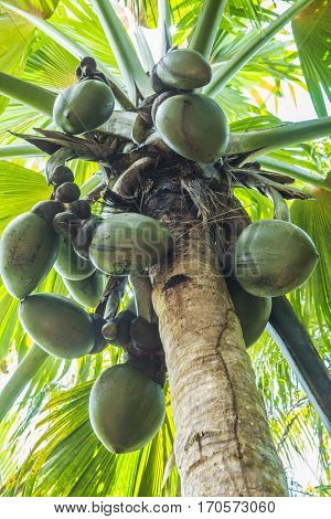 Famous endemic coconuts of Seychelles