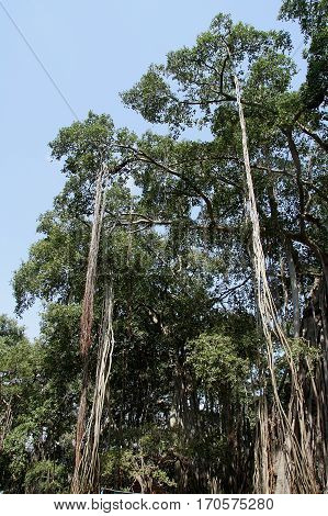 Roots of 'Big Banyan Tree' on the outskirts of Bengaluru Karnataka India Asia hanging from the lofty branches