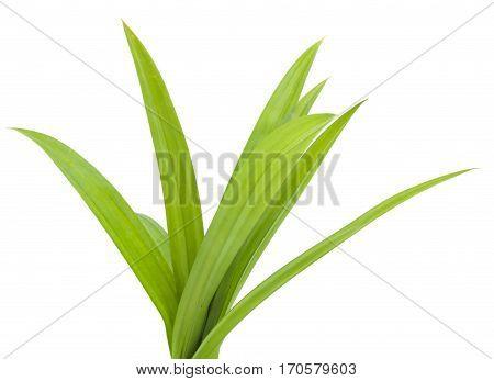 closeup green fresh pandan leaves thai herbal isolated