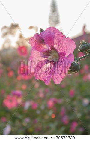 flowers in the garden flowers holly hock hollyhock pink sun set