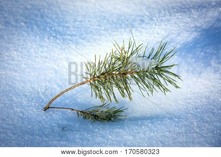 small green pine brunch on snow meadow