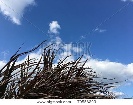 Fluttering Cogongrass leaves in strong spring wind