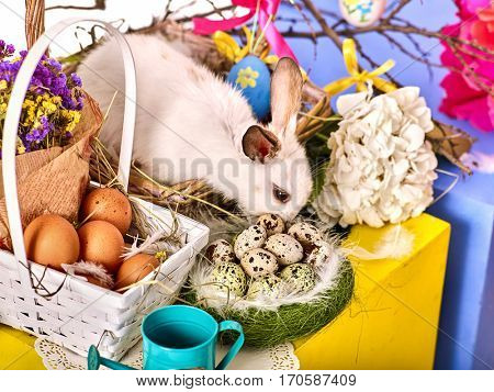 Easter bunny and egg. Rabbit among spring holiday flowers on table. Small basket and nest with quail eggs yellow blue colors. Top view.