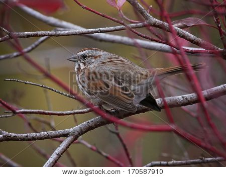 a cute little sparrow or house finch sitting on a branch during fall