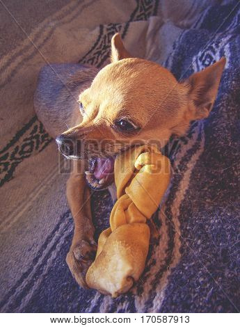 a cute chihuahua puppy chewing on a rawhide bone in front of a window with dramatic lighting coming though toned with a vintage retro instagram filter effect app or action