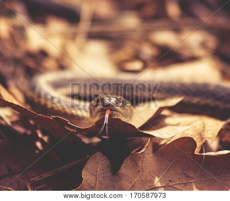 a garter snake in a pile of leaves with its tongue out