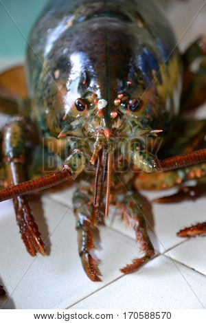 monster four (4) pound clawed  lobster is a large  crustacean