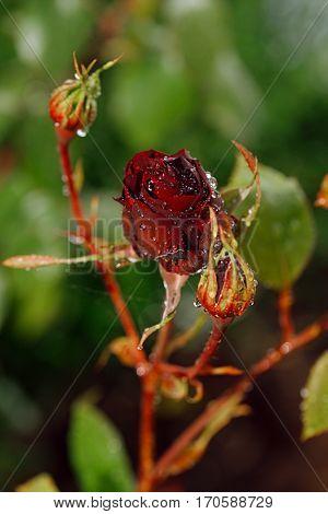 rose growing in a garden, shallow dof