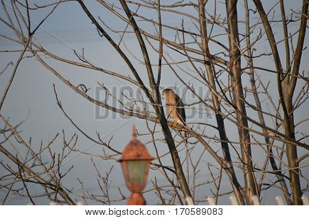 A Coopers Hawk sitting on a leafless tree on a cloudy winter day